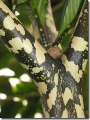 Amorphopahllus bulbifer