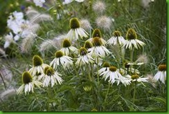 Echinacea White Swan