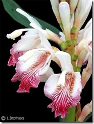 Alpinia_officinarum