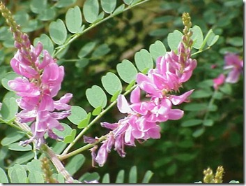 Indigofera_tinctoria