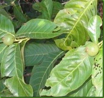 Diospyros brasiliensis