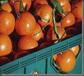 A_crop_of_oranges