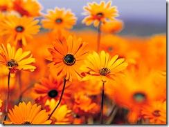 Brandgula blommor