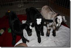 Surprise goat