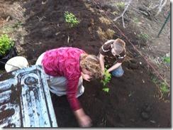 blueberryplanting3
