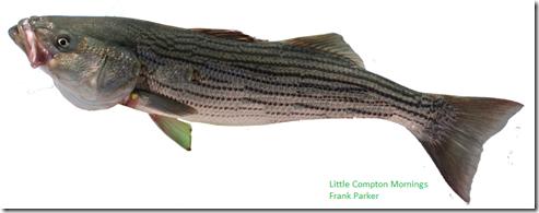 Fish fry Striper