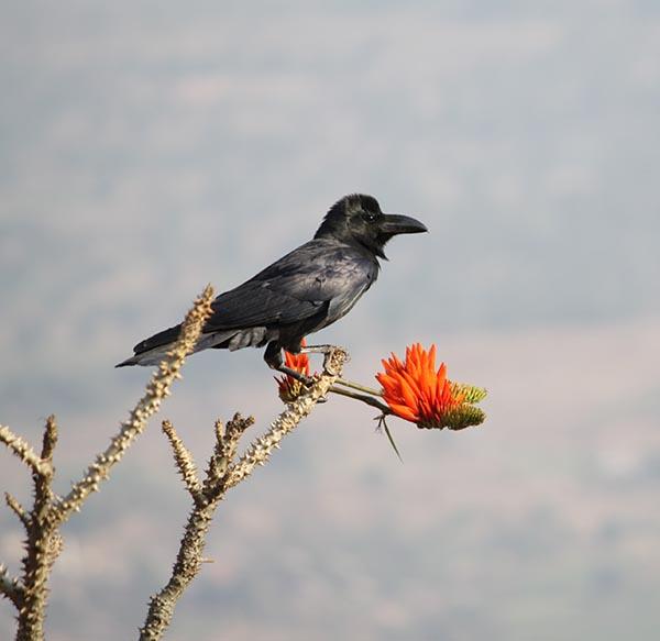Crow who thinks he is a Sunbird