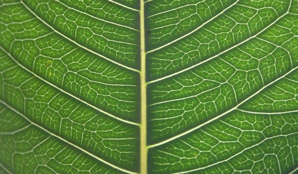 Detailed Leaf Structure