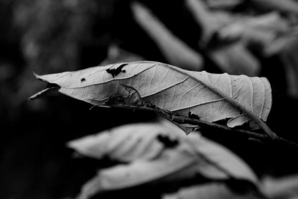 Burnt Leaves