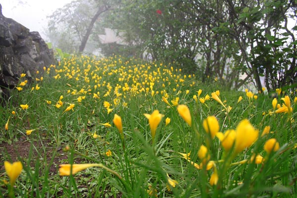 Lilies of Sinhagad