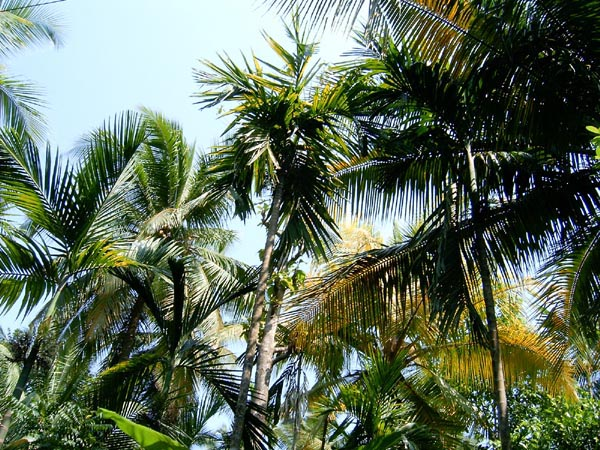 Areca Nut [सुपारी] trees at Harne beach