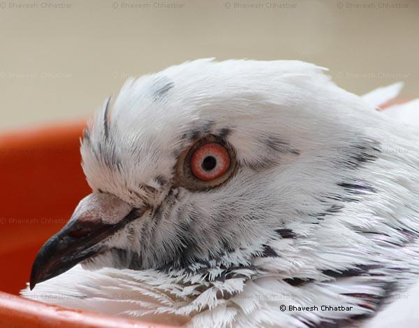 Close-up of masakkali pigeon bathing