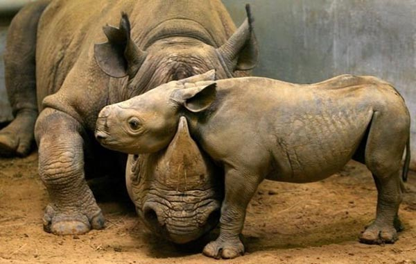 Rhino baby resting head on mother's head