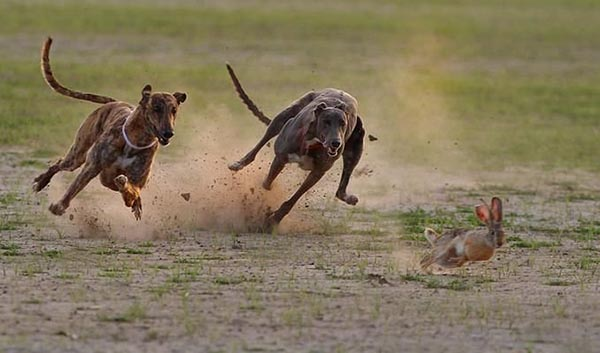 2 dogs hunting rabbit