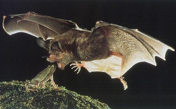Frog hunt by bat