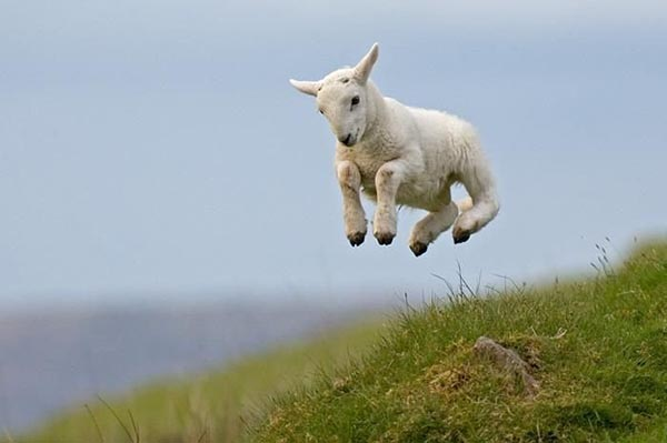 Happy jumping sheep