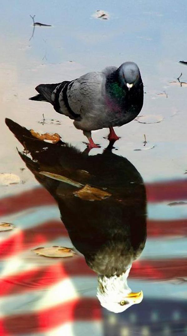 Pigeon seeing itself as bald eagle in reflection