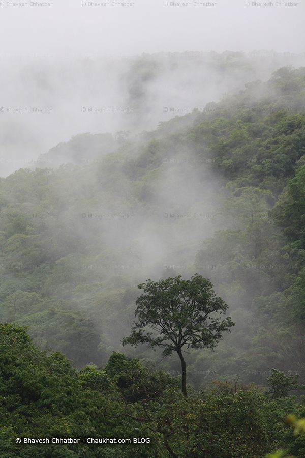 Treescape with a stand out tree with monsoon in the Western ghats canopy