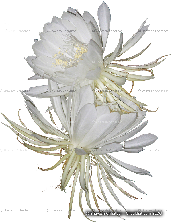 Weed flower mistakenly recognized as Brahmakamal