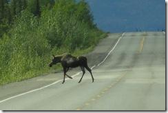 DSC03861 first moose