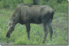 DSC03864 second moose