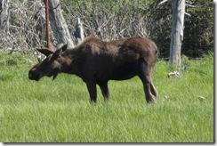 06 Moose, Alaska Wildlife Conservation Center