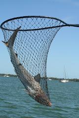 Pelican Bay Shark