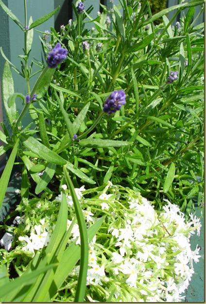 Lavender & Phlox 2