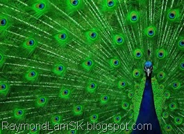 peacock-open-feather-small