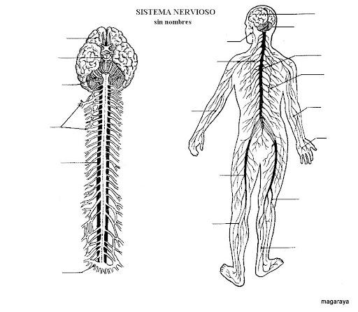 Sistema nervioso para colorear - Imagui