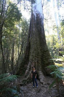 Tall Trees Tasmania Australia