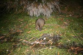 Pademelon Tasmania Australia