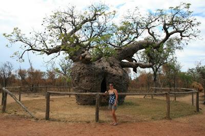 Boab Tree, Gibb River Road Western Australia