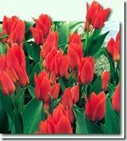 Tulipan-Toronto-10-stk_full_plant