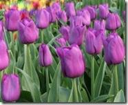 Tulipan-Purple-Prince-10-stk_full_plant
