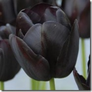 Tulipan-Queen-of-Night-10-stk_full_plant