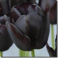 Tulipan-Queen-of-Night-10-stk_full_plant