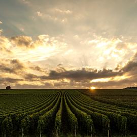 Vineyards by Mihai  Costea - Landscapes Prairies, Meadows & Fields ( vineyards, france )