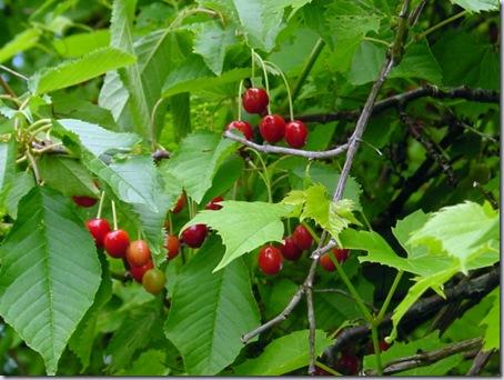Mmmmm!  Cherries!