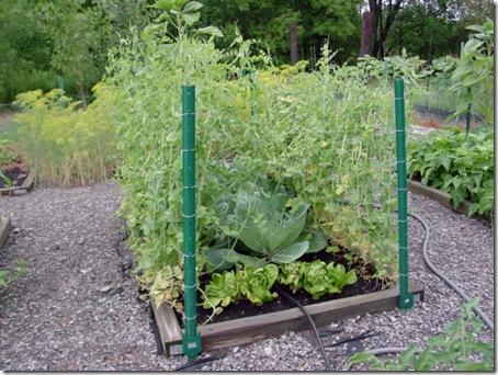 Peas, lettuce & cabbage