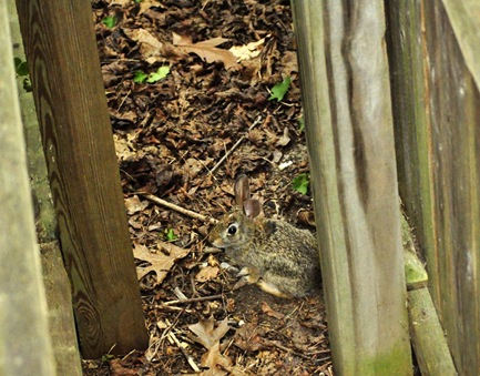 Bunny between the fences