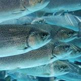 De nouvelles espèces de poissons deau douce à Ain Temouchent