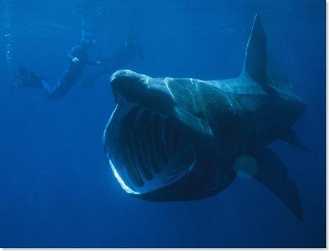 basking-shark-660x501-custom