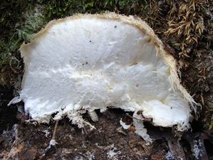 Hericium erinaceus cut surface