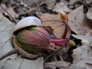 Sprouting acorns-35