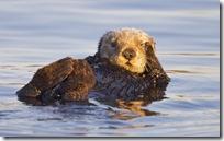 USA, California, Moss Landing, Sea otter (Enhydra lutris)