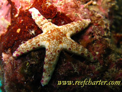 Plated Starfish on a Coral Bed