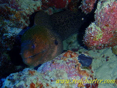 Moray Eel on the Great Barrier Reef