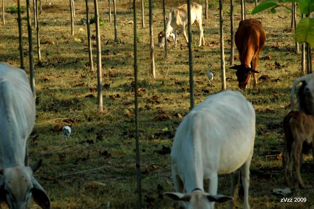 Коровы как домашние животные и какие-то симбиотические журавли, помогающие труженикам села