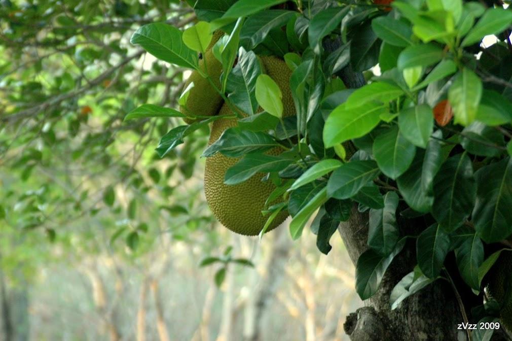 Джекфрут в тайском саду-огороде
